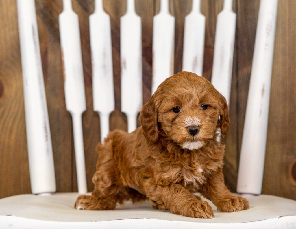 Quamy is an F1B Goldendoodle that should have  and is currently living in Minnesota