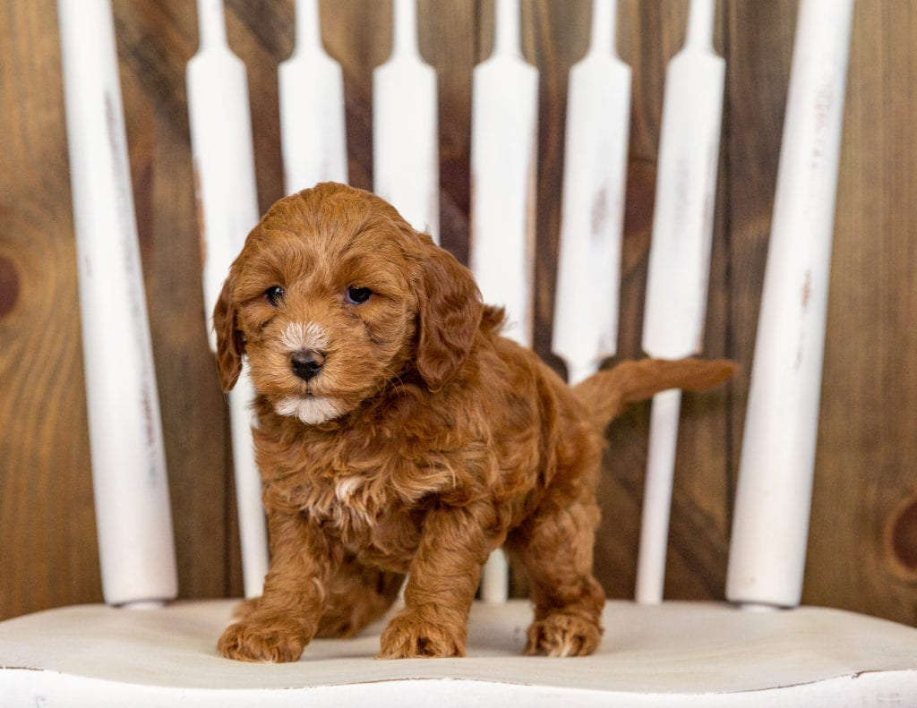 Quamy came from Kimber and Milo's litter of F1B Goldendoodles