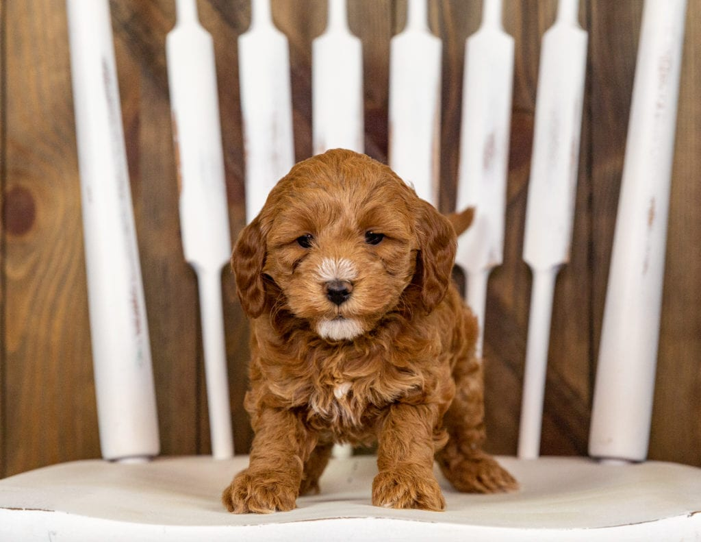 A picture of a Quamy, one of our Mini Goldendoodles puppies that went to their home in Minnesota