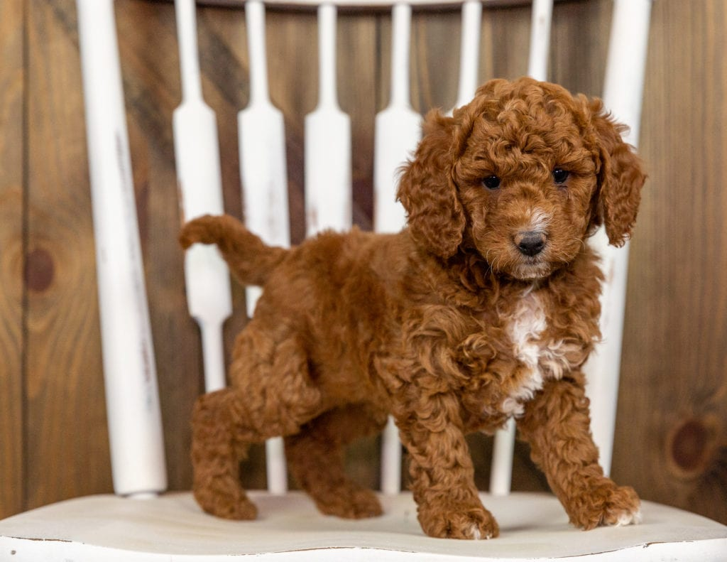 Quartz came from Kimber and Milo's litter of F1B Goldendoodles