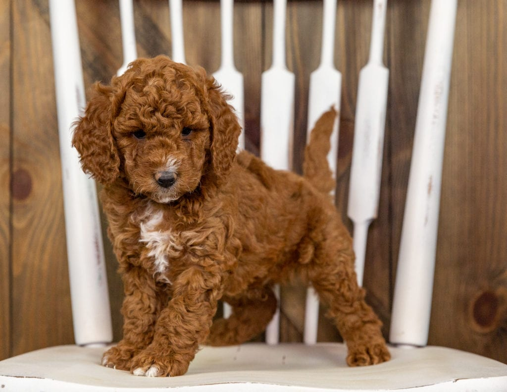 Quartz is an F1B Goldendoodle that should have  and is currently living in Nebraska