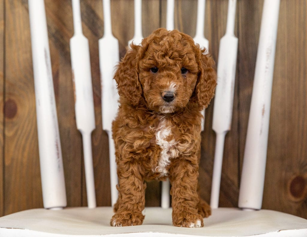 A picture of a Quartz, one of our Mini Goldendoodles puppies that went to their home in Nebraska
