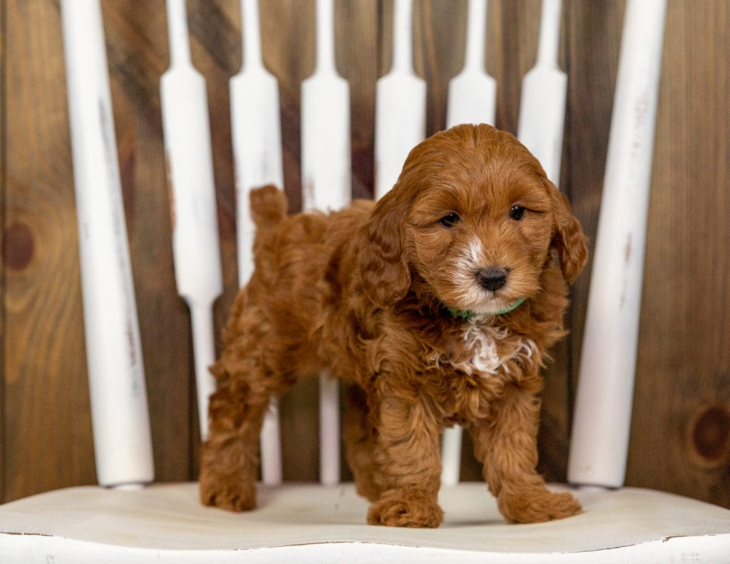 Our cute Mini Goldendoodles available for sale!