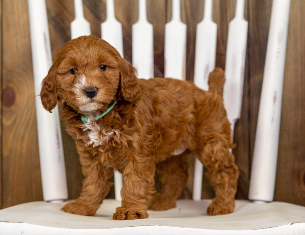 Quaxie came from Kimber and Milo's litter of F1B Goldendoodles