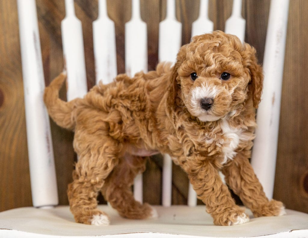 Queenie is an F1B Goldendoodle that should have  and is currently living in Nebraska