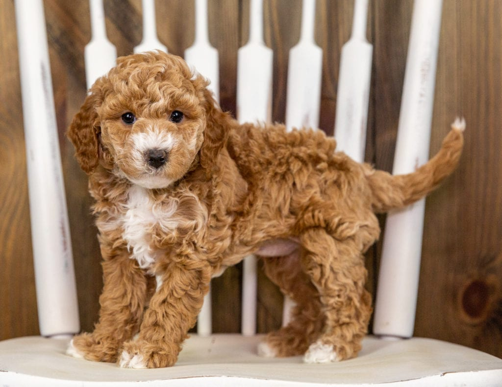 Queenie came from Kimber and Milo's litter of F1B Goldendoodles