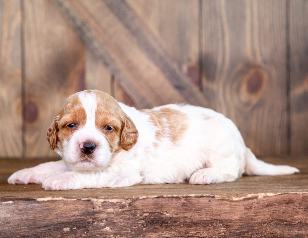 """Want to learn more about Irish Doodles? Check out our blog post titled """"The New Dog Breed Everyone Seems to Want"""""""