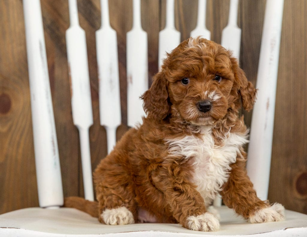 A picture of a Rita, one of our Mini Irish Doodles puppies that went to their home in North Dakota