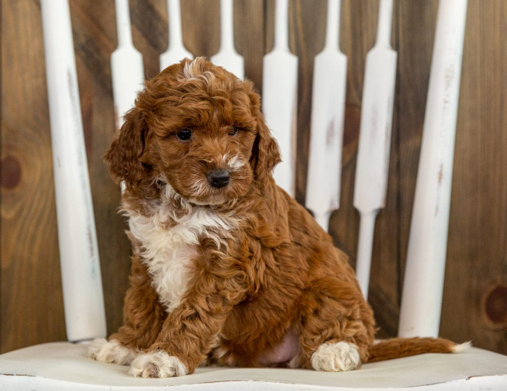 Rita is an F1 Irish Doodle that should have  and is currently living in North Dakota