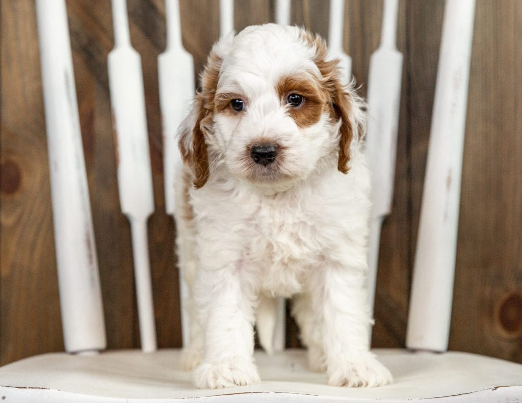 A picture of a Rose, one of our Mini Irish Doodles puppies that went to their home in New Jersey