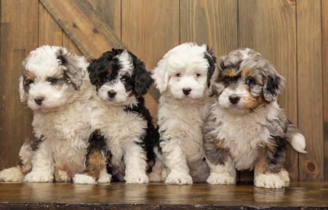 A Poodles 2 Doodles litter of Mini Bernedoodles raised in Iowa