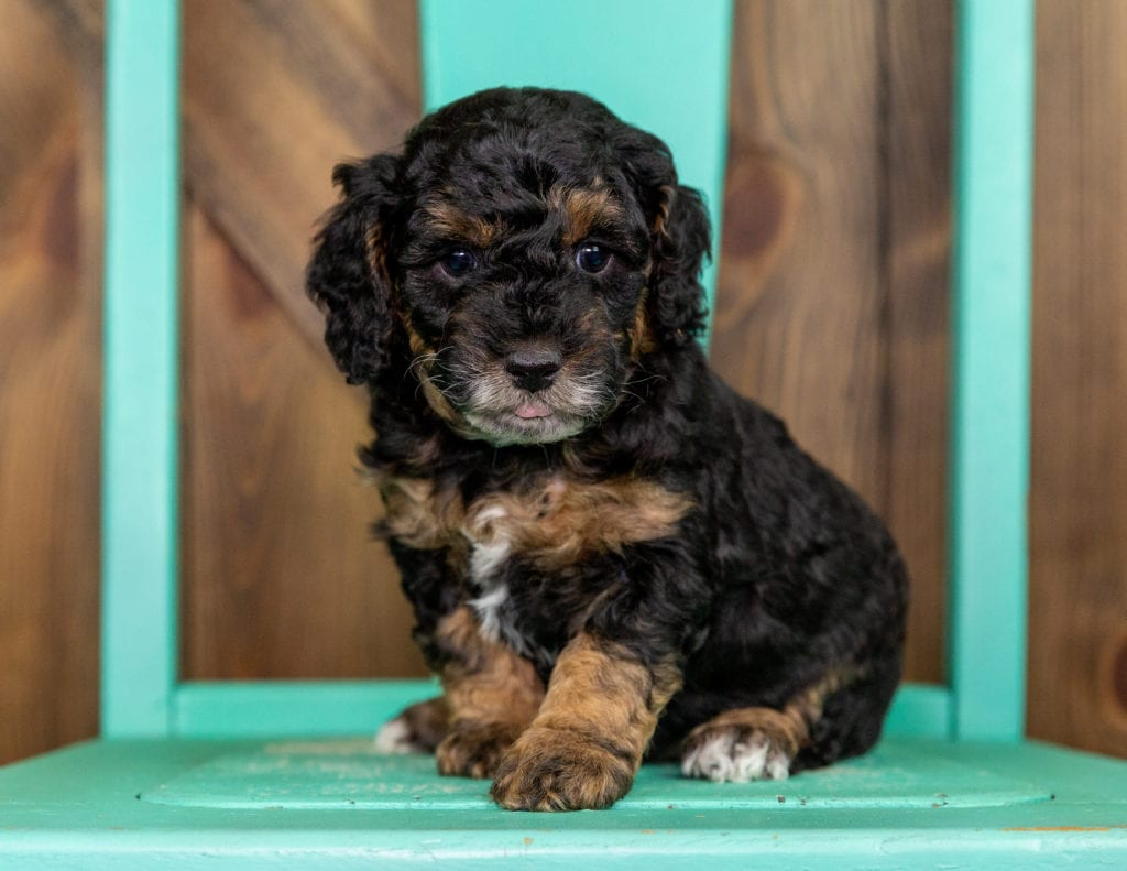 Tamale came from Raven and Ozzy's litter of F1BB Bernedoodles