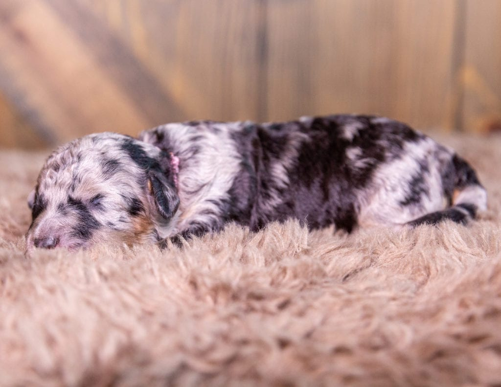 A picture of a Taylor, one of our Mini Bernedoodles for sale