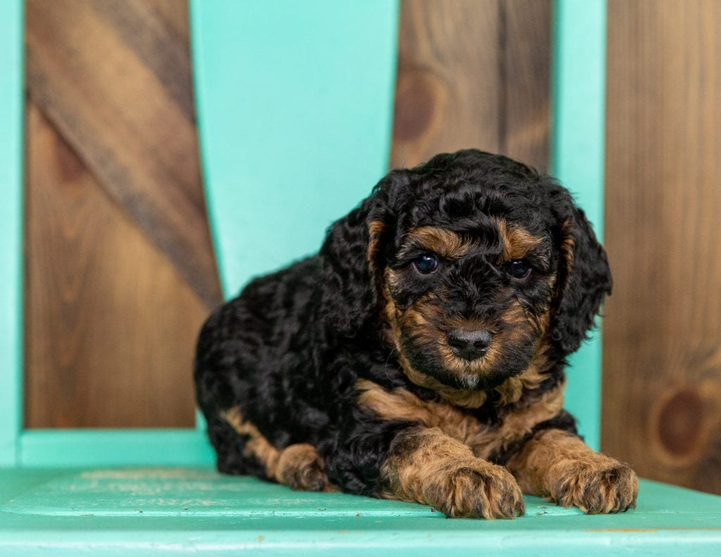 Tiny is an F1BB Bernedoodle.