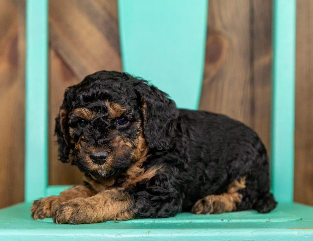 Tiny came from Raven and Ozzy's litter of F1BB Bernedoodles