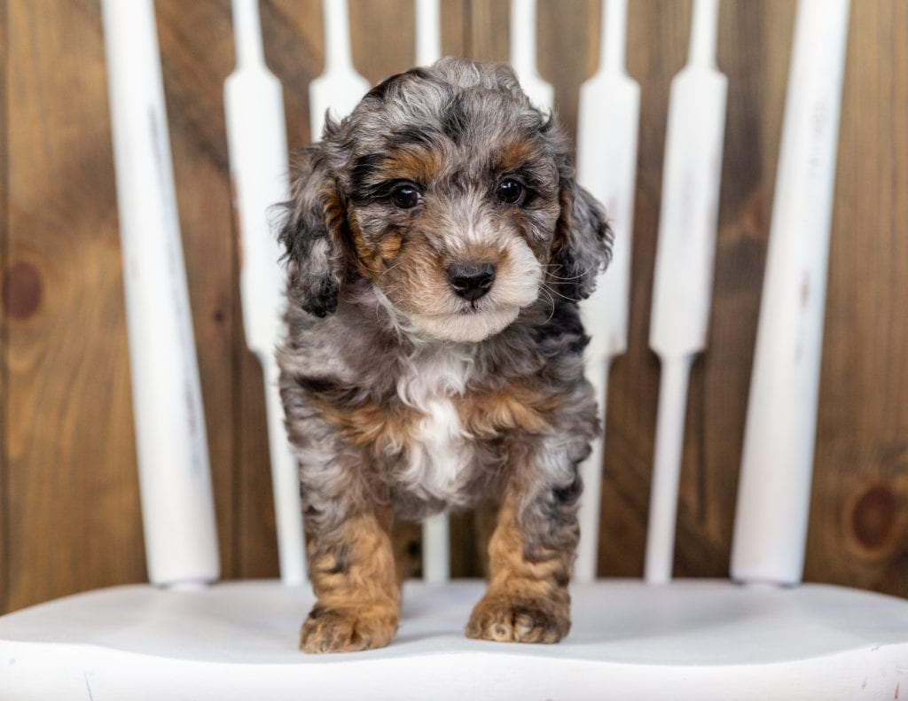 A picture of a Toby, one of our Mini Bernedoodles puppies that went to their home in Massachusetts
