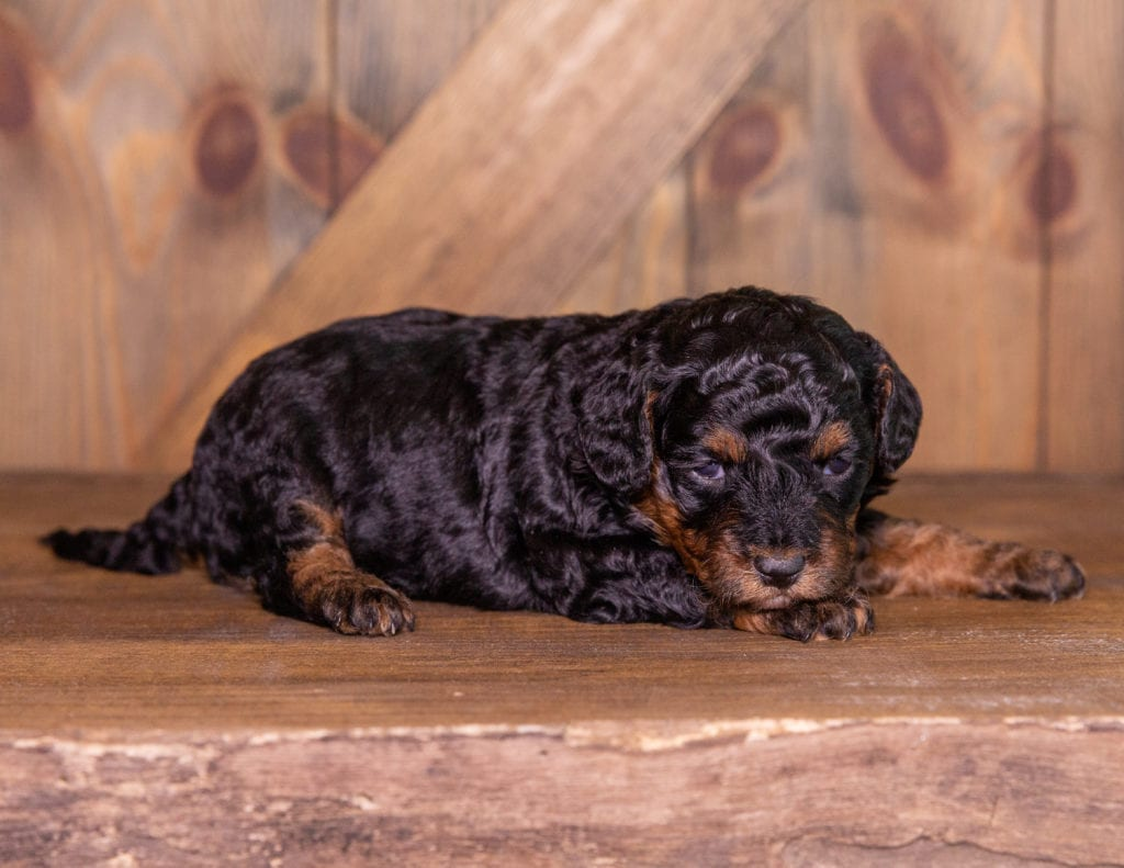 Toosie came from Raven and Ozzy's litter of F1BB Bernedoodles