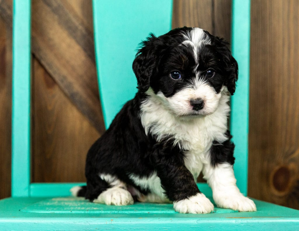 Velvet came from Tyrell and Grimm's litter of F1 Bernedoodles
