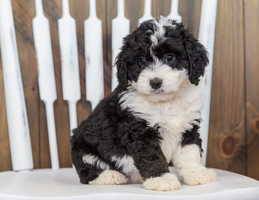 Mini Bernedoodles with hypoallergenic fur due to the Poodle in their genes. These Bernedoodles are of the F1 generation. For more info on generations, view our specific breed page for Bernedoodles.