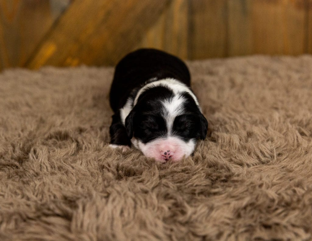 A picture of a Velvet, one of our Mini Bernedoodles for sale