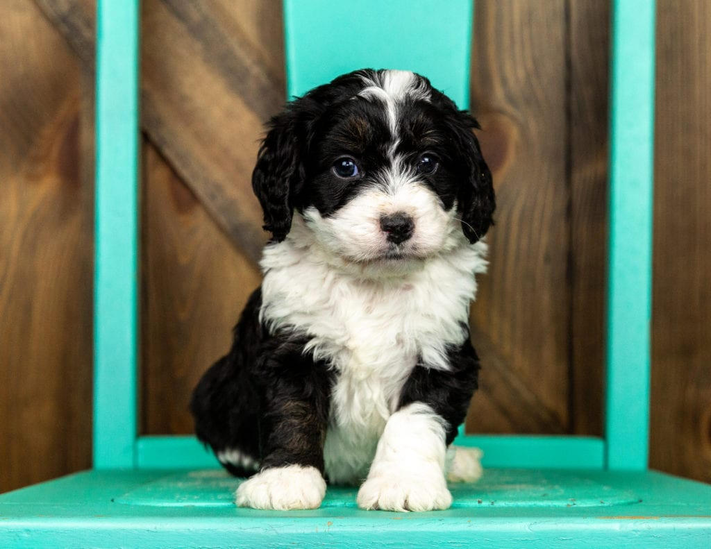 Velvet is an F1 Bernedoodle that should have  and is currently living in Minnesota
