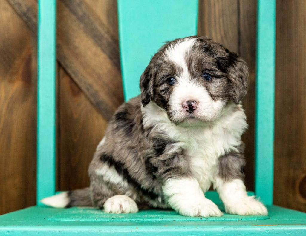 Compare and contrast Bernedoodles with other doodle types at our breed comparison page!