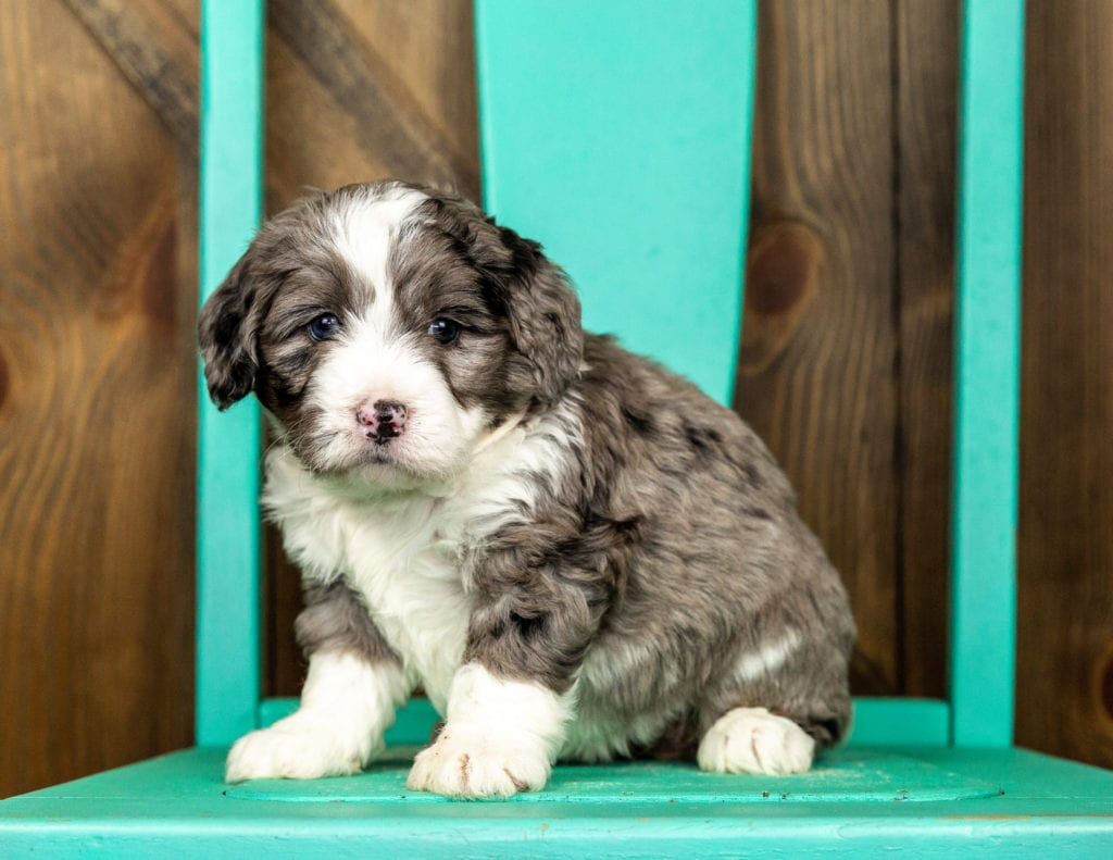 Vicky came from Tyrell and Grimm's litter of F1 Bernedoodles