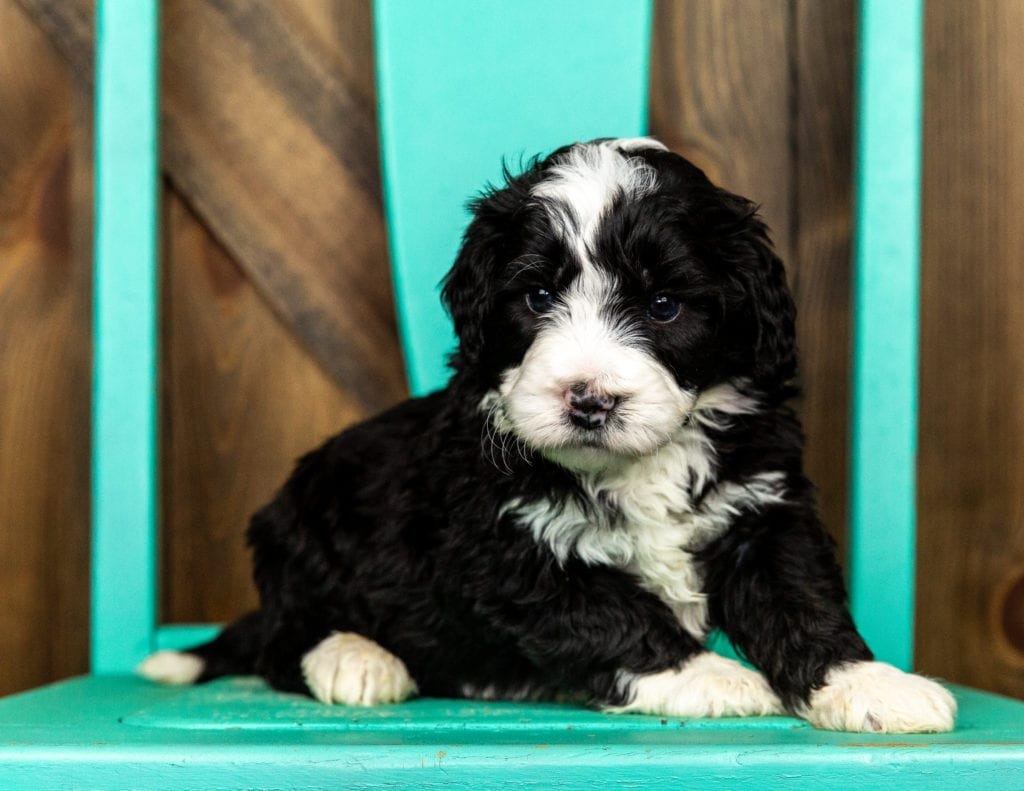 Volt came from Tyrell and Grimm's litter of F1 Bernedoodles