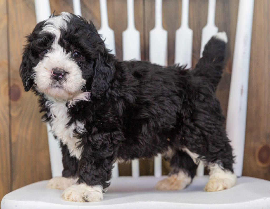 "Want to learn more about Bernedoodles? Check out our blog post titled ""The New Dog Breed Everyone Seems to Want"""