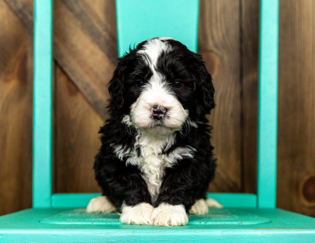 A picture of a Volt, one of our Mini Bernedoodles puppies that went to their home in South Dakota