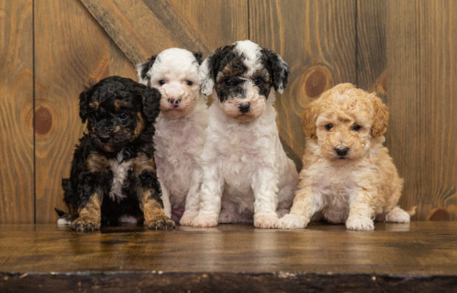 A picture of our litter of Mini Poodles raised in Iowa