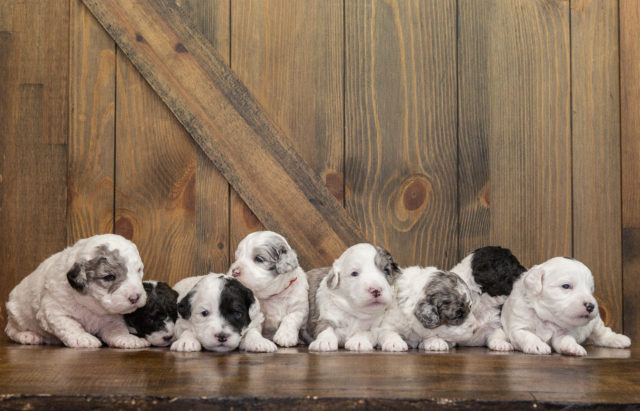 A picture of our litter of Mini Sheepadoodles raised in Iowa