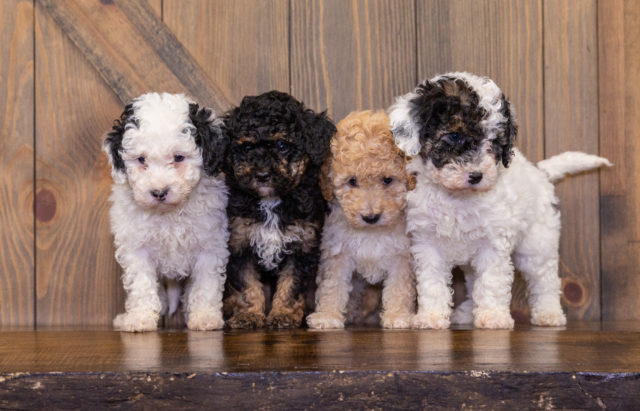 A Poodles 2 Doodles litter of Mini Poodles raised in Iowa