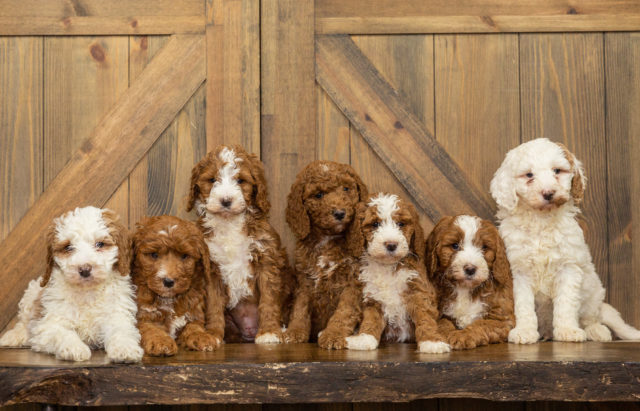 A Poodles 2 Doodles litter of Standard Goldendoodles raised in Iowa
