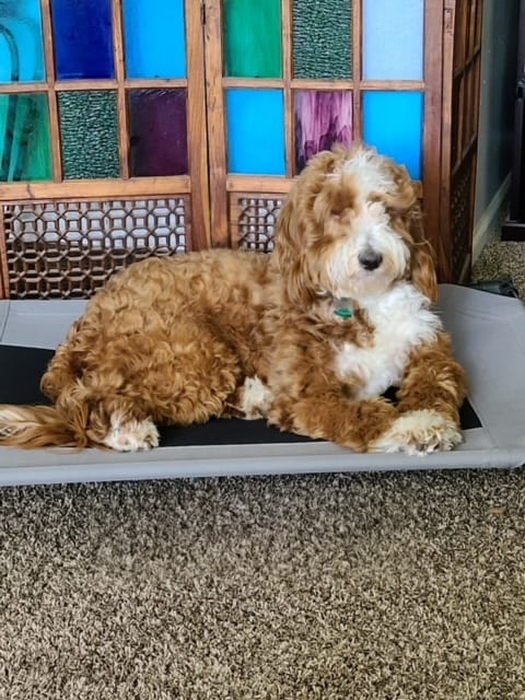 Zara is an F1B Goldendoodle and a mother here at Poodles 2 Doodles, Sheepadoodle and Bernedoodle breeder from Iowa
