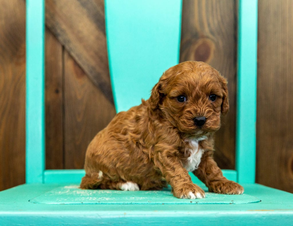 Xyla came from Lucy and Taylor's litter of F1 Cavapoos