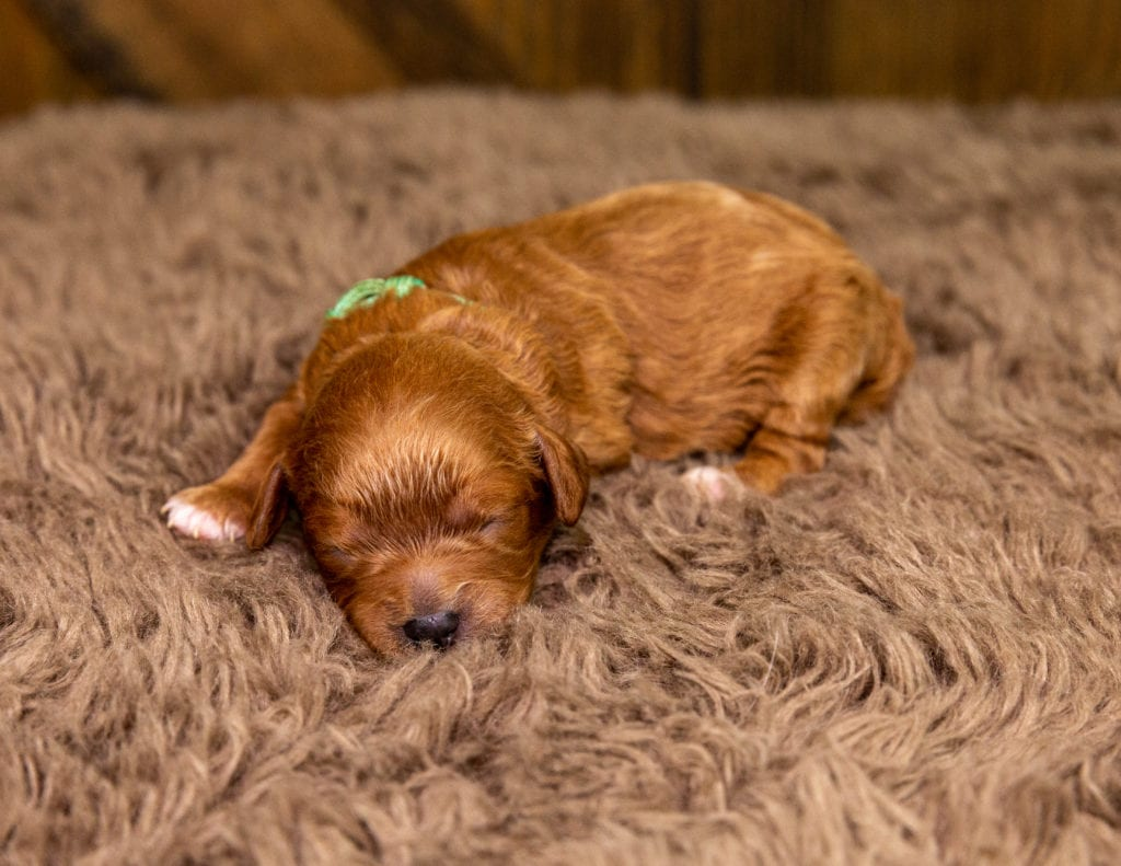 A picture of a Xyla, one of our Petite Cavapoos for sale