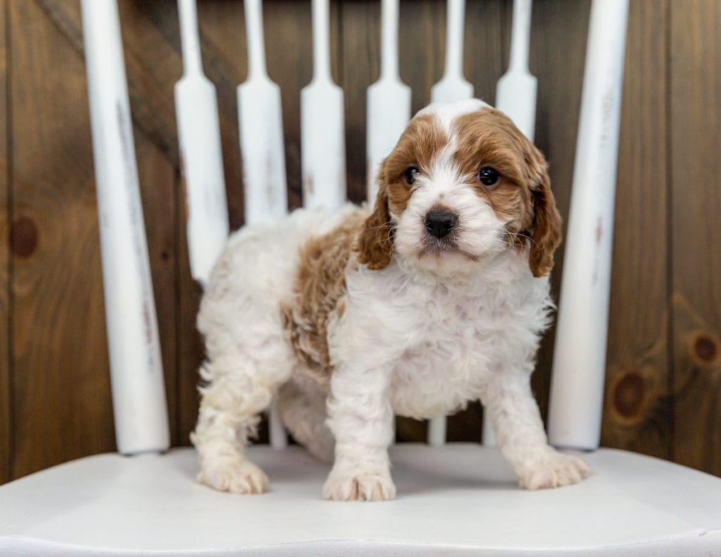 Xono is an F1 Cavapoo that should have  and is currently living in New Jersey