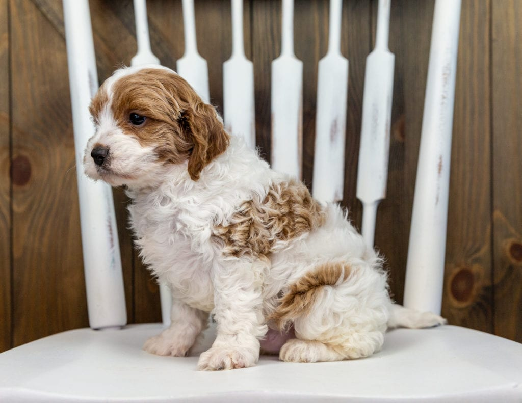 A picture of a Xono, one of our Petite Cavapoos puppies that went to their home in New Jersey