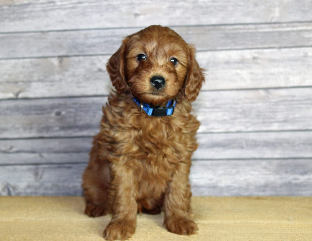 A picture of a Udelle, one of our Mini Goldendoodles puppies that went to their home in Nebraska