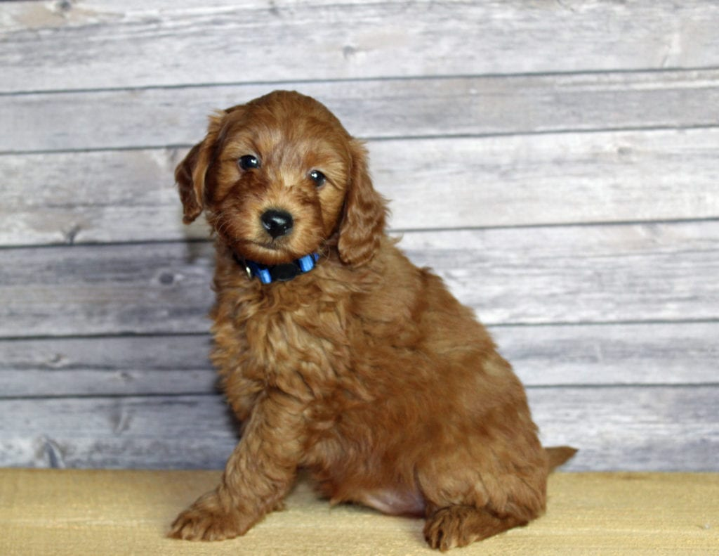 Udelle is an F1B Goldendoodle that should have  and is currently living in Nebraska