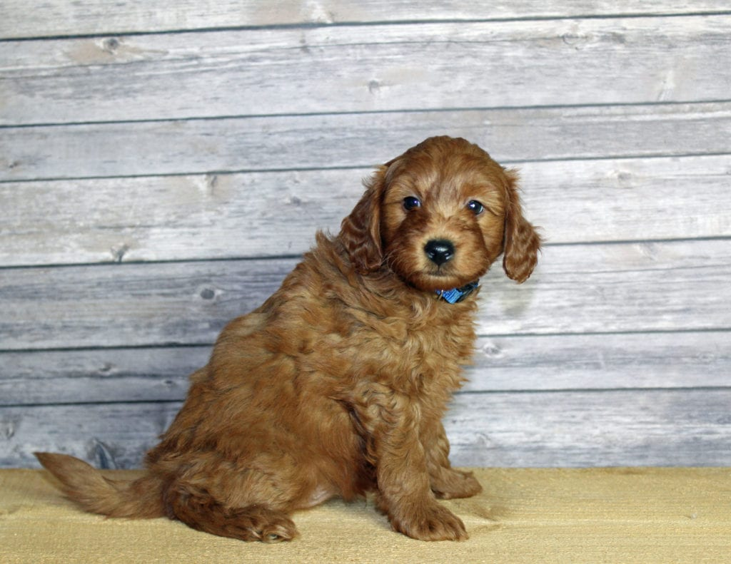 Udelle came from Penny and Taylor's litter of F1B Goldendoodles