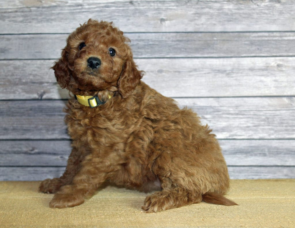 Uma is an F1B Goldendoodle that should have  and is currently living in California