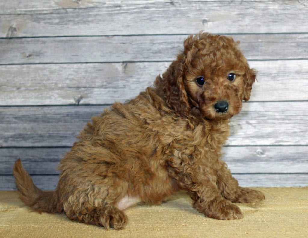 Uma came from Penny and Taylor's litter of F1B Goldendoodles