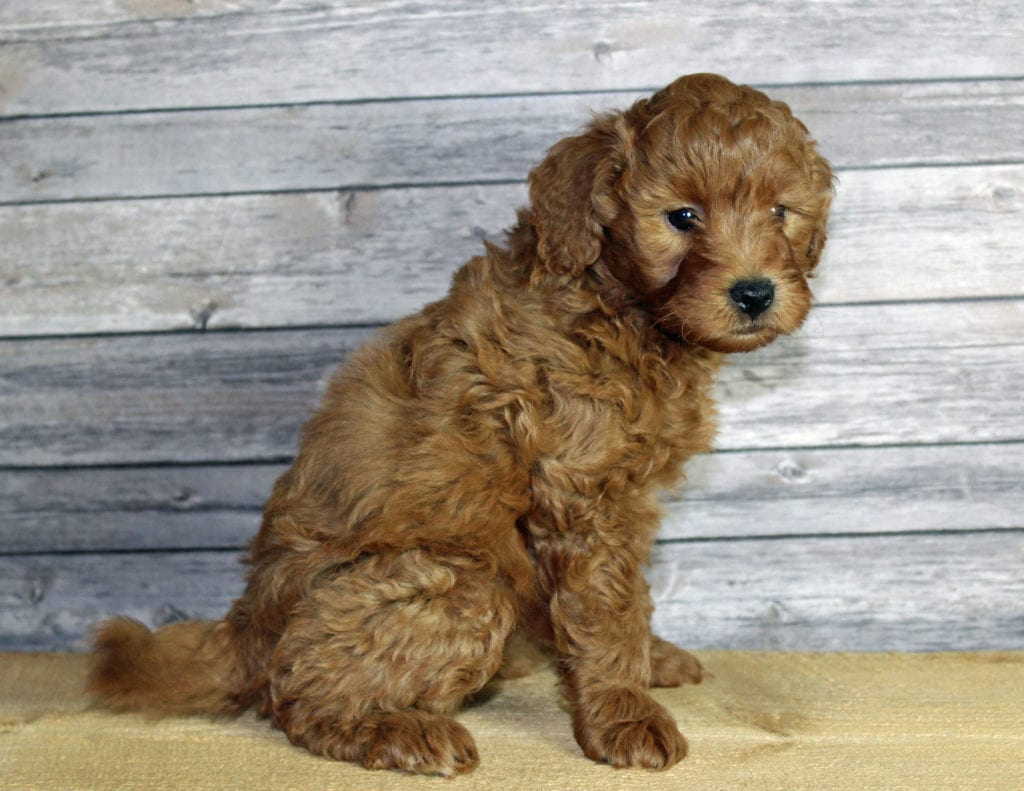 Umar is an F1B Goldendoodle that should have  and is currently living in Nebraska