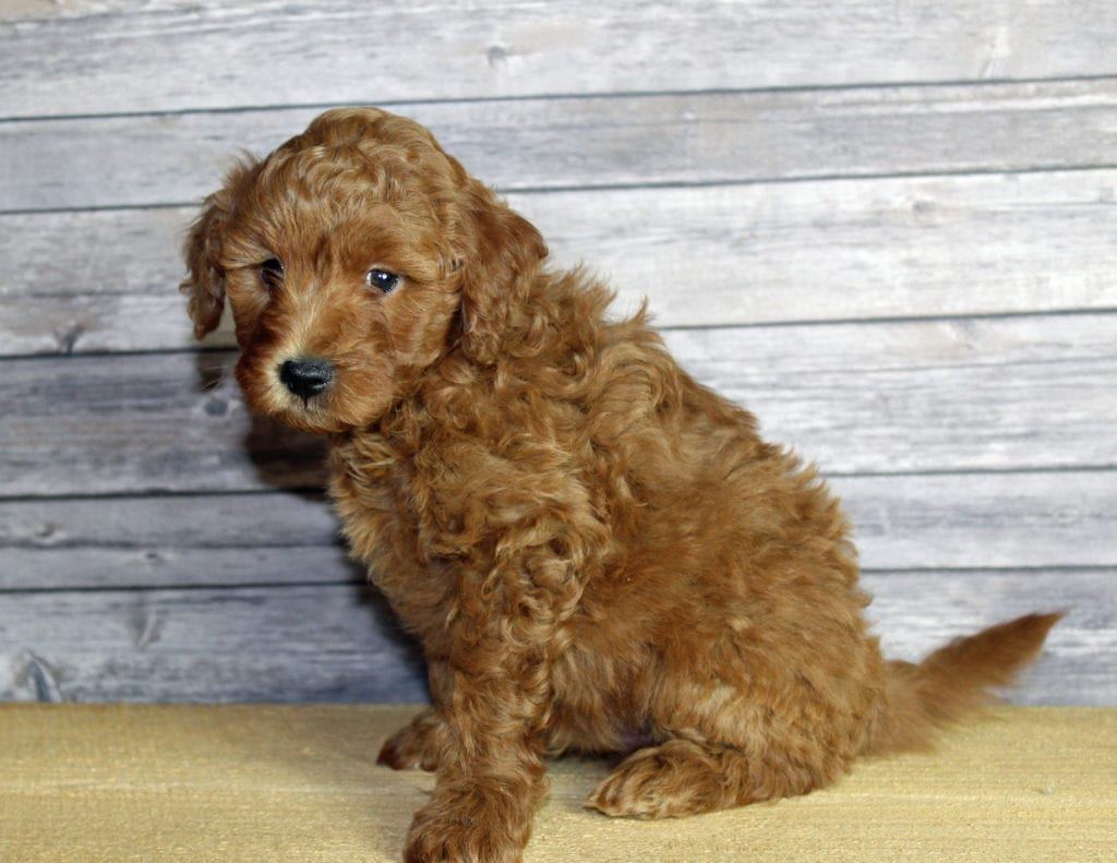 Umar came from Penny and Taylor's litter of F1B Goldendoodles