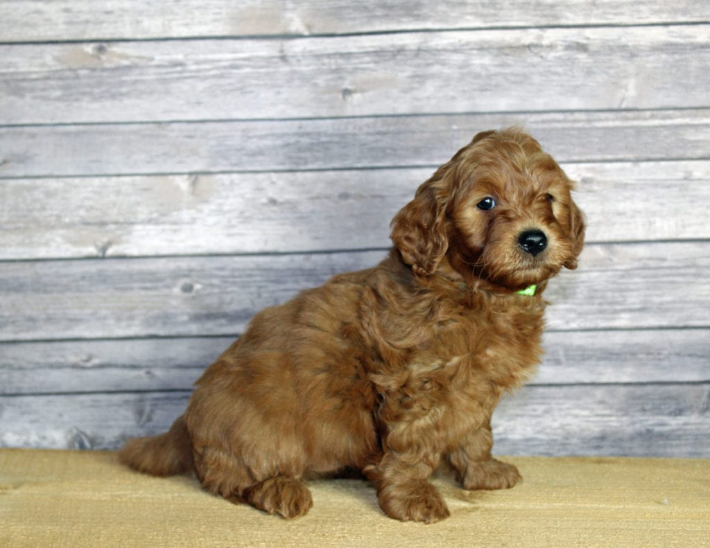 Uncle came from Penny and Taylor's litter of F1B Goldendoodles