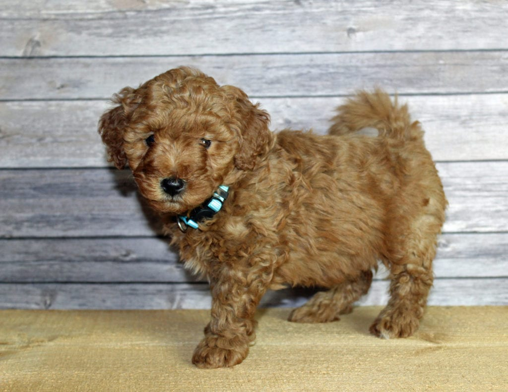 Unise is an F1B Goldendoodle that should have  and is currently living in Iowa