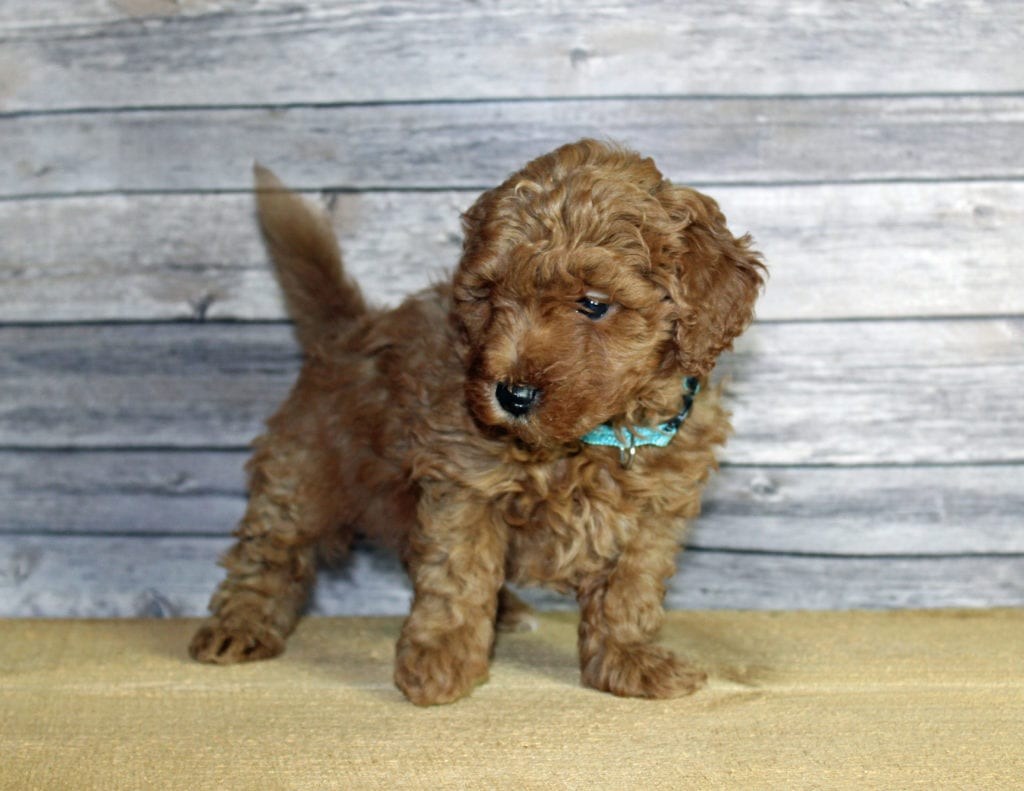 Unise came from Penny and Taylor's litter of F1B Goldendoodles