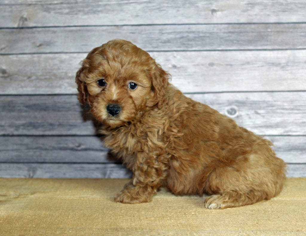 Ursula came from Penny and Taylor's litter of F1B Goldendoodles